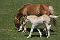 A grazing mare and her foal in the Bonaigua Pass makes a great photo for transfer to a mug or trivet.
