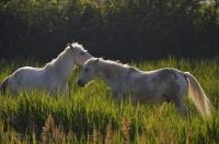 A mystic image of two Camarque horses roaming free, surrounded by lush green grass and accentuated by the late light of day in the Camargue, France, Europe.