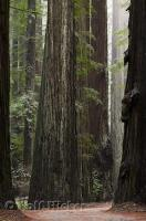 The famous giant trees in the Humboldt Redwoods State Park in California, USA.