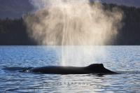 A single Humpback Whale, which belongs to the baleen species of whales, with a beautiful backlit spout above in Blackfish Sound, British Columbia, Canada.