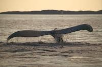 Picture Of A Humpback Whale Tail