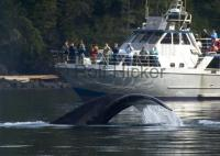 Humpback whale watching tours off Northern Vancouver Island, BC