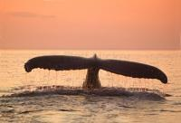 A humpback whale showing its tail fluke as it dives after sunset in Newfoundland, Canada.
