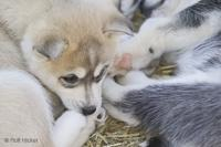 Stock Photo of Cute Husky Dog Puppies