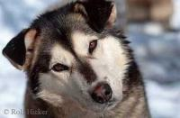 Photo of a cute Husky Dog posing for a portrait shoot during a dog sleding excursion in Alaska, USA.
