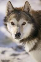 Alert Husky Dog Alaska