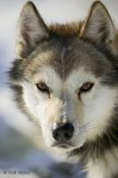 Portrait of a cute looking husky dog, photographed just before the start of a dog sledding trip in northern Alaska.