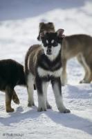 A real challenge is to take stock pictures of cute husky puppies, all the want is to join the bigger dogs in front of a dog sled.