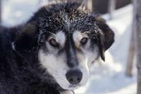 A cute husky dog poses for the camera just before leaving on a sled journey with visitors in the arctic of Alaska.