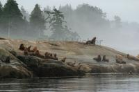 Stellers Sea Lions