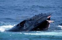 humpback whale feeding
