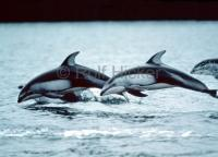 Stock Photo of Dolphins, marine mammals