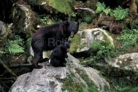 black bear sow with cub