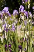 Iris flowers blooming in the village of Gourdon in Provence, France in Europe.