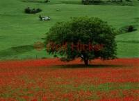 Classic italy pictures featuring a large field of red common poppy flowers and a tree