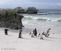 Stock Photo of Jackass Penguins