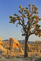 A Joshua Tree stands amid interesting rock formations under a clear blue sky in the Mojave Desert of California, USA.
