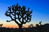 Joshua Tree Silhouette Twilight