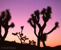 Sunset Joshua Tree National Park