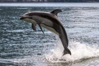 Jumping Pacific White Sided dolphin