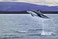 High Jumping Wild Dolphin