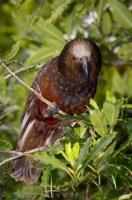 A kaka bird at the Pukaha Mount Bruce National Wildlife Center on the North Island of New Zealand.