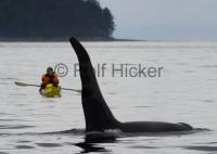 Johnstone Strait off Vancouver Island in British Columbia is the place - Kayak with Orca Whales (Killer Whales), North Vancouver Island