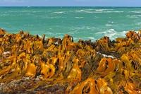 The green-blue Pacific waters in Curio Bay in the Catlins region of New Zealand, are fringed by a band of golden kelp which sweeps the rocky ledge of the shoreline.