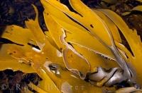 The waters of the Kaikoura Peninsula off the South Island of New Zealand is filled with beautifully golden colored kelp.