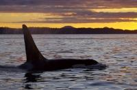 Killer Whale Beauty At Sunset British Columbia Canada