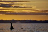 The mist from a lonely male Killer Whale lingers in the sunset lighting while he decides to take a catnap in the waters off Northern Vancouver Island.