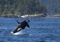 Male Killer Whale Jumping Breaching