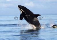 Female Killer Whale Jumping Out of Water