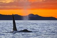 A brilliant orange sunset reflects in the cloudy sky while a Northern Resident Killer Whale swims by in British Columbia, BC, Canada.