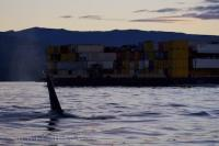Killer Whales Boat Traffic Northern Vancouver Island