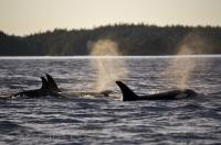 A group of Killer Whales from the Northern Resident community off Northern Vancouver Island in British Columbia, Canada.