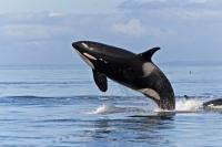 Killer Whales Pictures