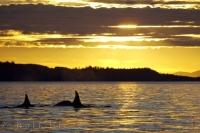 Beautiful scenery surrounds four Killer Whales who surface in the waters off Northern Vancouver Island in British Columbia, Canada at sunset.