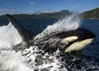 photo of killer whales