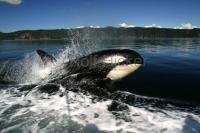 An increasingly popular vacation destination Northern Vancouver Island in British Columbia, Canada has many great options for whale watching tours.