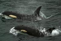 Whales In Johnstone Strait