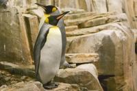 The King Penguin lives in the Antartica and is the second largest type of penguin.