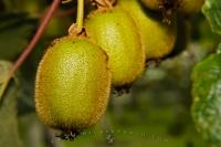 Kiwi ripen in the sun's rays in an orchard near Te Puke in the Bay of Plenty on the North Island of New Zealand.