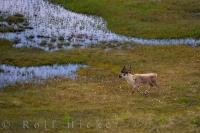A lone male caribou strolls across the bog land of Southern Labrador near Happy Valley-Goose Bay.