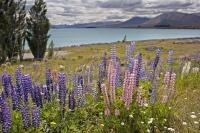 The lakeshore of Lake Tekapo on the South Island of New Zealand is beautiful when the Russell Lupins and the wildflowers bloom.