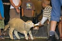 One of the highlights for the children at the Agrodome, a unique farm experience in Rotorua, is having an opportunity to feed a lamb.