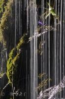 Cascades of water flow over the natural growth of the landscape in Ordesa National Park in the Pyrenees in Huesca, Aragon in Spain.