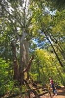 Now protected from logging, a large kauri tree can be admired by tourists to Waipoua Forest in the Northland region of New Zealand.