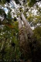Large Kauri Trees North Island New Zealand