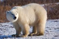 Polar bears are the world's largest land predator and the first species officially threatened by global warming, making them the international symbol in the fight against this growing natural disaster.